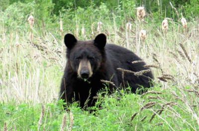 Bear monitoring from Bear Scare is important to reduce encounters.